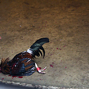 THE PHILIPPINES (Manila). 2009. The owner of a beaten game cock reaches down to collect his dead bird after a fatal blow, delivered by it's competitor during a fight to the death between two game cocks, each with three inch razor sharp blades attached to their left ankles at the Makati Coliseum,  Makati City, Manila. Photo Tim Clayton <br /> <br /> Cockfighting, or Sabong as it is know in the Philippines is big business, a multi billion dollar industry, overshadowing Basketball as the number one sport in the country. It is estimated over 5 million Roosters will fight in the smalltime pits and full-blown arenas in a calendar year. TV stations are devoted to the sport where fights can be seen every night of the week while The Philippine economy benefits by more than $1 billion a year from breeding farms employment, selling feed and drugs and of course betting on the fights...As one of the worlds oldest spectator sports dating back 6000 years in Persia (now Iran) and first mentioned in fourth century Greek Texts. It is still practiced in many countries today, particularly in south and Central America and parts of Asia. Cockfighting is now illegal in the USA after Louisiana becoming the final state to outlaw cockfighting in August this year. This has led to an influx of American breeders into the Philippines with these breeders supplying most of the best fighting cocks, with prices for quality blood lines selling from PHP 8000 pesos (US $160) to as high as PHP 120,000 Pesos (US $2400)..
