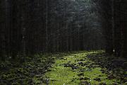 Wild boar (Sus scrofa) burrows on old forest road overgrown with green moss in spruce stand in autumn, Kemeri National Park (Ķemeru Nacionālais parks), Latvia Ⓒ Davis Ulands | davisulands.com