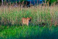 A lioness walking through deep grass, near Kwara Camp, Okavango Delta, Botswana.