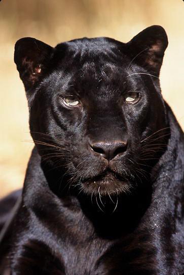 Black Panther, (Panthera pardus) Melanistic or dark color phase of leopard. Portrait. Captive Animal.