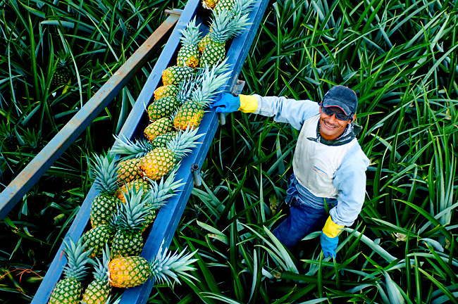 Pineapple Farmer Harvesting Pineapples Onto A Conveyor Belt In Costa Rica.