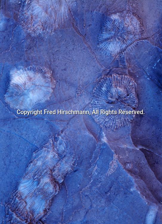 Paleozoic fossils of horn corals preserved in limestone near the Colorado River, Grand Canyon Natonal Park, Arizona.