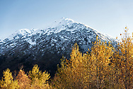 Golden leaves adorn trees beneath snow covered mountains on the Kenai Peninsula in Southern Alaska