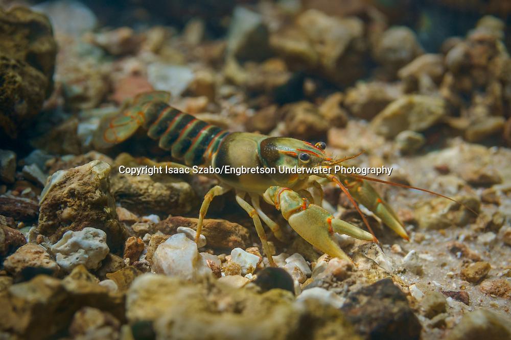 Golden Crayfish<br /> <br /> Isaac Szabo/Engbretson Underwater Photography