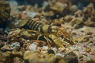 Golden Crayfish<br />