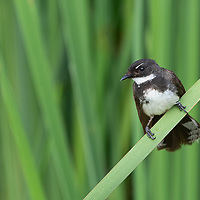 """The Malaysian pied fantail (Rhipidura javanica) is a species of bird in the fantail family and one of 47 species in the genus Rhipidura. It is locally referred to as murai gila, literally """"crazy thrush"""" in the Malay language. It is found in Brunei, Cambodia, Indonesia, Laos, Malaysia, Myanmar, Philippines, Singapore, Thailand, and Vietnam. Its natural habitat is subtropical or tropical moist lowland forests."""