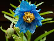 Summer bloom of Himalayan Blue Poppy, Meconopsis betonicifolia, in Randi and Fred Hirschmann's perennial garden, Matanuska Valley, Alaska.
