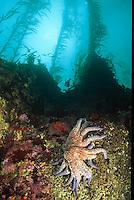 Kelp Forest, Carmel Bay Point Lobos