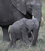 A baby African elephant (Loxodonta  africana) with its mother. Serengeti National Park, Tanzania.
