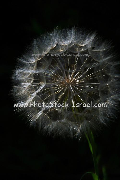 Dandelion blowball on black background