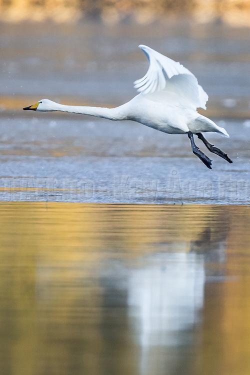 Swan takeoff   Svane som letter