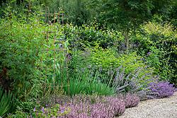 Border in the sales area including Glycyrrhiza yunnanensis and Verbena macdougalii 'Lavender Spires'