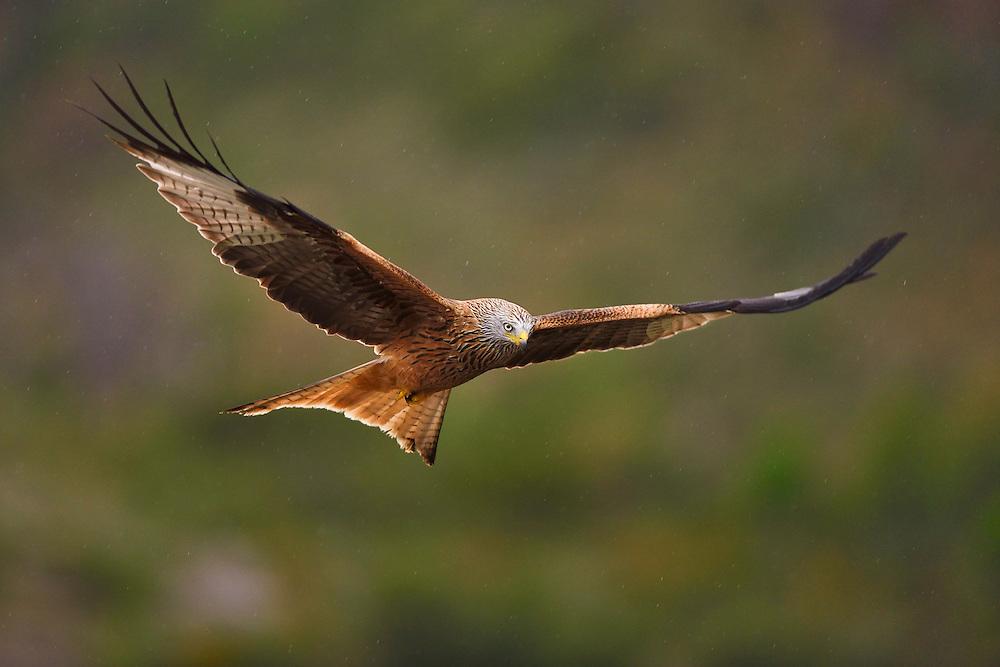 Red kite, Milvus milvus, at wildlife watching feeding station, Pre-Pyrenees, Catalonia, Spain