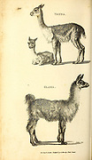 Vicuna and Glama (llama) from General zoology, or, Systematic natural history Vol II Part 2 Mammalia, by Shaw, George, 1751-1813; Stephens, James Francis, 1792-1853; Heath, Charles, 1785-1848, engraver; Griffith, Mrs., engraver; Chappelow. Copperplate Printed in London in 1801 by G. Kearsley