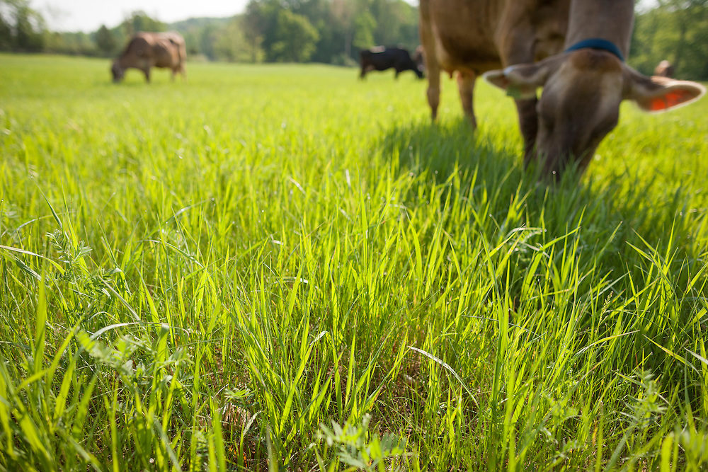 closeup of grass with cows grazing in the background