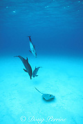 Atlantic spotted dolphins, Stenella frontalis, amuse themselves by harassing a stingray, Little Bahama Bank, Bahamas ( Western Atlantic Ocean )