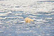 01874-12119 Polar Bear (Ursus maritimus) mother and cub jumping on ice in Hudson Bay  in Churchill Wildlife Management Area, Churchill, MB Canada