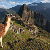 A domesticated Llama looking over the site of Machu Picchu just after sunrise with Huayna Picchu Mountain at the background.