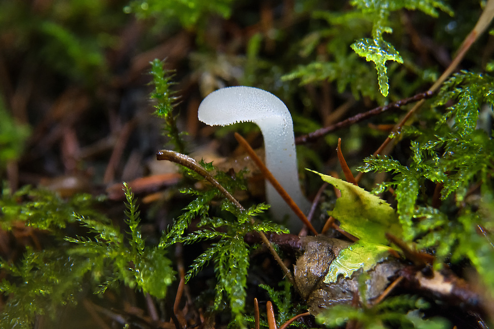 "This unique and very interesting toothed jelly mushroom is found throughout the world and grows mostly on decaying coniferous wood. Although it is considered edible, it is reported to have almost no taste, and is often ""candied"" with sugar and sometimes other ingredients. This one was found in the Mount Baker-Snoqualmie National Forest near the Greenwater River, in the Cascade Mountains in Pierce County, Washington."