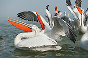 Dalmatian Pelican, Pelecanus crispus, in Breeding Plumage, Kerkini Lake, Greece, group together beaks open to catch fish thrown from fisherman, Vulnerable IUCN Red List 2007 and on Appendix I of CITES