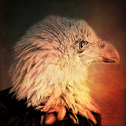 A Bald Eagle Head Shot With A Bit Of Intensity