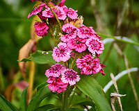Sweet William. Image taken with a Nikon N1V3 camera and 70-300 mm VR lens