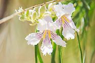 Bignoniaceae (Catalpa Family)