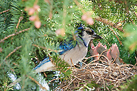This is just a preview of 100's of images I made of this family of Blue Jays with ababies this morning at my friends house.  The eggs hatched this week!<br /> <br /> ©2009, Sean Phillips<br /> http://www.RiverwoodPhotography.com