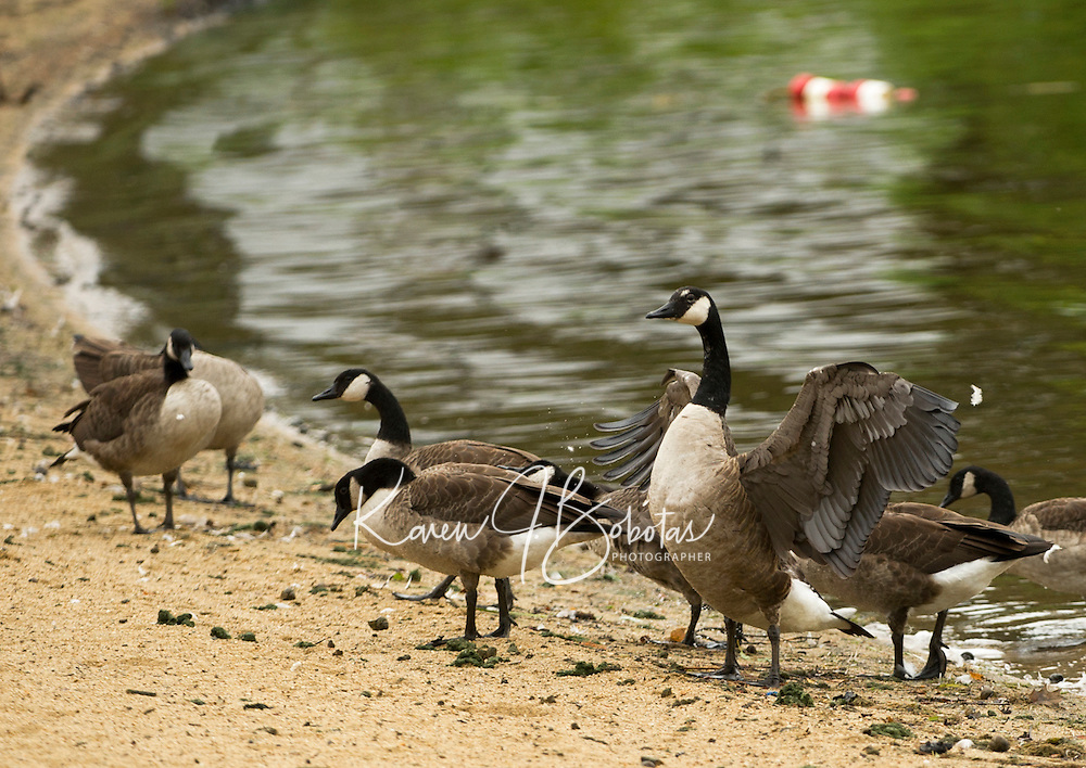 The influx of geese at Opechee Cove this summer is a cause for concern along the parks shoreline.  (Karen Bobotas/for the Laconia Daily Sun)