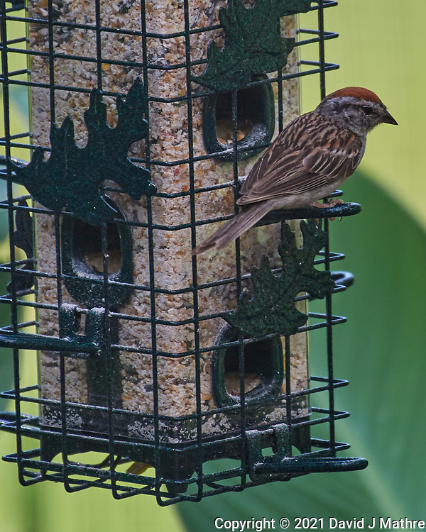 Chipping Sparrow. Image taken with a Nikon D5 camera and 200-500 mm f/5.6 VR lens.