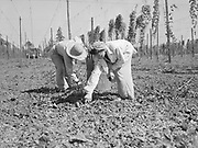 5587Picking hops off the ground behind the picking machine on the E. Clemens Horst hop ranch near Independence, Oregon. September 1, 1942.