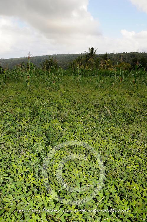 Arachis hypogaea, Erdnuss, Erdnuesse, Erdnusspflanzen, Erdnzssfeld, peanut, peanutfield,  Bali, Indonesien, Indopazifik, Bali, Indonesia Asien, Indo-Pacific Ocean, Asia