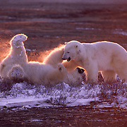Polar bears (Ursus maritimus) wrestling in alpenglow light. Hudson Bay, Canada