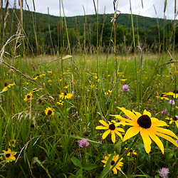 A grassland and Surry Mountain in Surry, New Hampshire.  Surry Mountain Recreation Area.  Black-eyed susans.