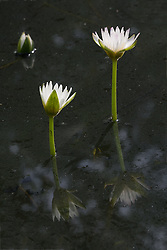 White Water Lilies #1