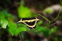 Giant swallowtail pauses on a smilax vine on a hot summer day in the Corkscrew Swamp of Collier County, Florida. This big beauty had a 5-inch wingspan!