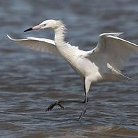 Egretta rufescens, Galveston Island, Texas, May 2020