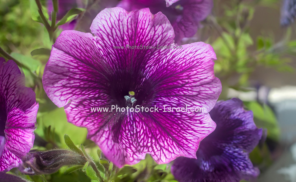 Close up of a single pink petunia flower