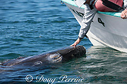 friendly gray whale calf, Eschrichtius robustus, surfaces next to a whale-watching tour boat, San Ignacio Lagoon, El Vizcaino Biosphere Reserve, Baja California Sur, Mexico; a passenger reaches over to touch the inquisitive baby whale; calf's blowholes are crowded with cyamid amphipods or whale lice; sensory hairs can also be seen on its rostrum
