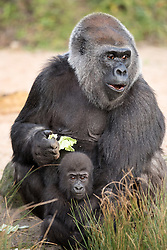 © Licensed to London News Pictures. 20/12/2016. Bristol, UK. ** EMABARGOED TILL 00.01am, WEDNESDAY 21 DECEMBER 2016 **. AFIA, a western lowland gorilla who is 10 months old with her surrogate mother gorilla Romina, now lives with the other gorillas at Bristol Zoo, after being born by caesarian section on 12 February this year. Keepers at Bristol Zoo have announced that their 'little miracle' Afia, the young Western lowland gorilla who has been hand-reared since birth, is now fully integrated with the gorilla troop. It's been an eventful journey since the young primate was born 10 months ago by emergency caesarean section and fought for her life before being cared for by keepers to ensure her survival.<br />  In that time keepers have given more than 1,570 bottle feeds, changed nearly 1,400 nappies, given 112 piggy back rides, and spent countless sleepless nights caring for her round-the-clock. Now, having reached a huge milestone, Afia is no longer being cared for by keepers but is spending 24-hours a day with her new gorilla family. She can often be seen exploring her new home on Gorilla Island, or clinging onto her new, surrogate mother gorilla, Romina. Photo credit : Simon Chapman/LNP