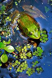 20 April 2014. Barataria Preserve, Louisiana. <br /> Louisiana swamp Green Frog at the Barataria Preserve.<br /> Photo; Charlie Varley/varleypix.com