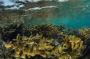 Elkhorn Coral (Acropora palmata) & French Grunt (Haemulon flavolineatum)<br /> Hol Chan Marine Reserve<br /> near Ambergris Caye and Caye Caulker<br /> Belize<br /> Central America