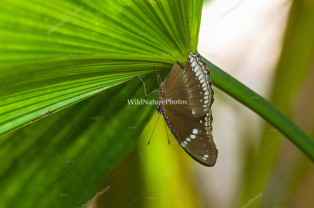 A Blue Moon Butterfly (Hypolimnas bolina), also known as a Common Eggfly or Great Egg Fly butterfly, appears black when its wings are open, and brown when they are closed. (Cambodia)