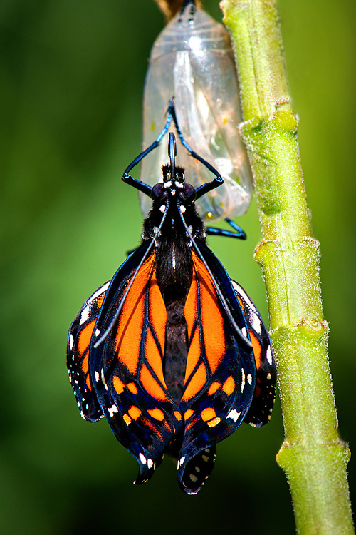 The butterfly is most vulnerable to predators while drying its wings as they are unable to fly when wet.