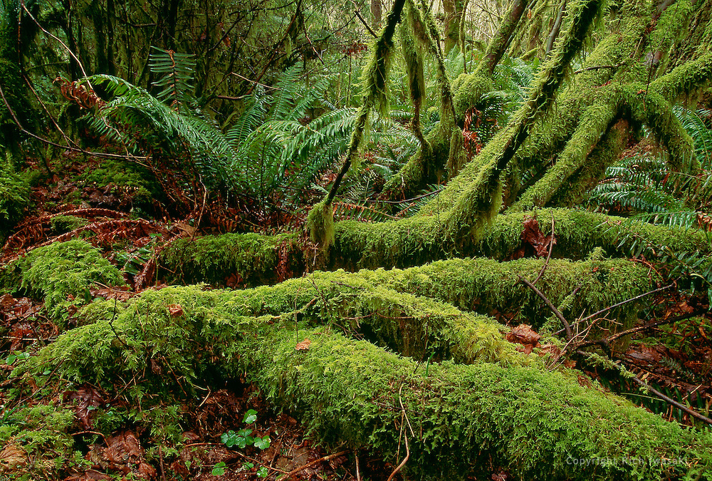 View of moss and ferns in the Van Duzer Forest State Scenic Corridor, Lincoln County, Oregon