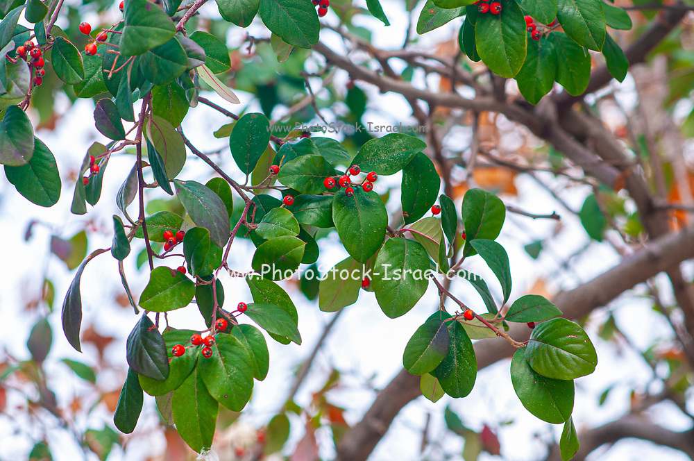Selective focus Closeup of red berries on a a tree with green leafs as background