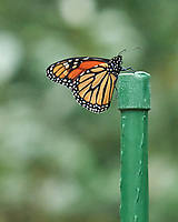 Monarch resting on a post. Image taken with a Leica SL2 camera and Sigma 150-600 mm Sport lens.