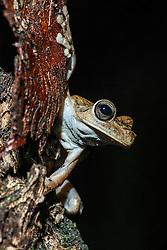 Gladiator tree frog near Manuel Antonio National Park, Costa Rica.