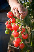 Vine of cherry tomatoes are held after harvesting.