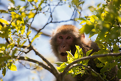 Macaque Monkey at Nishi Izu on the south tip of the Izu Peninsula in Japan